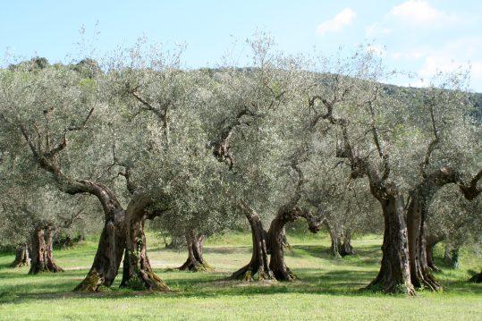 Olivenbäume_Umbrien